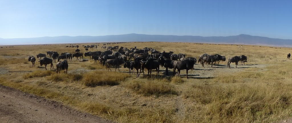 Wildebeest herd in Ngorongoro Crater