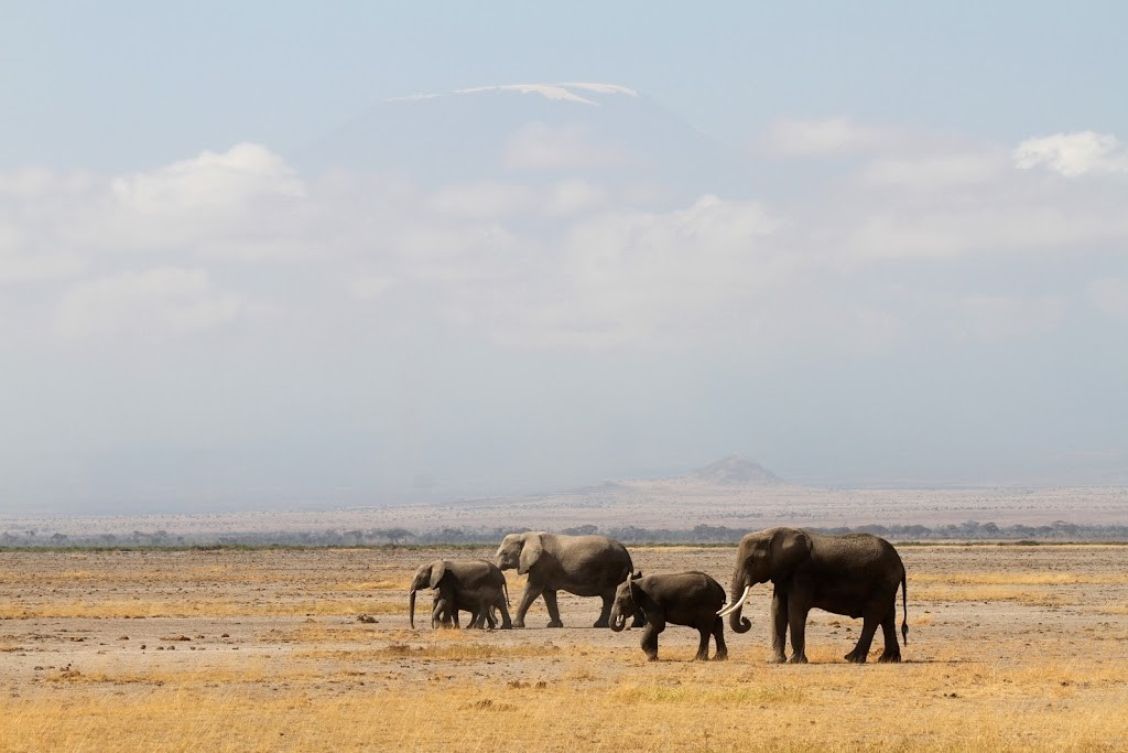 Classic photo with Mount Kilimanjaro ( peeping out of the clouds ) dwarfing the elephants