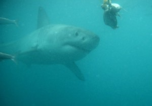 shark-cage-diving-006