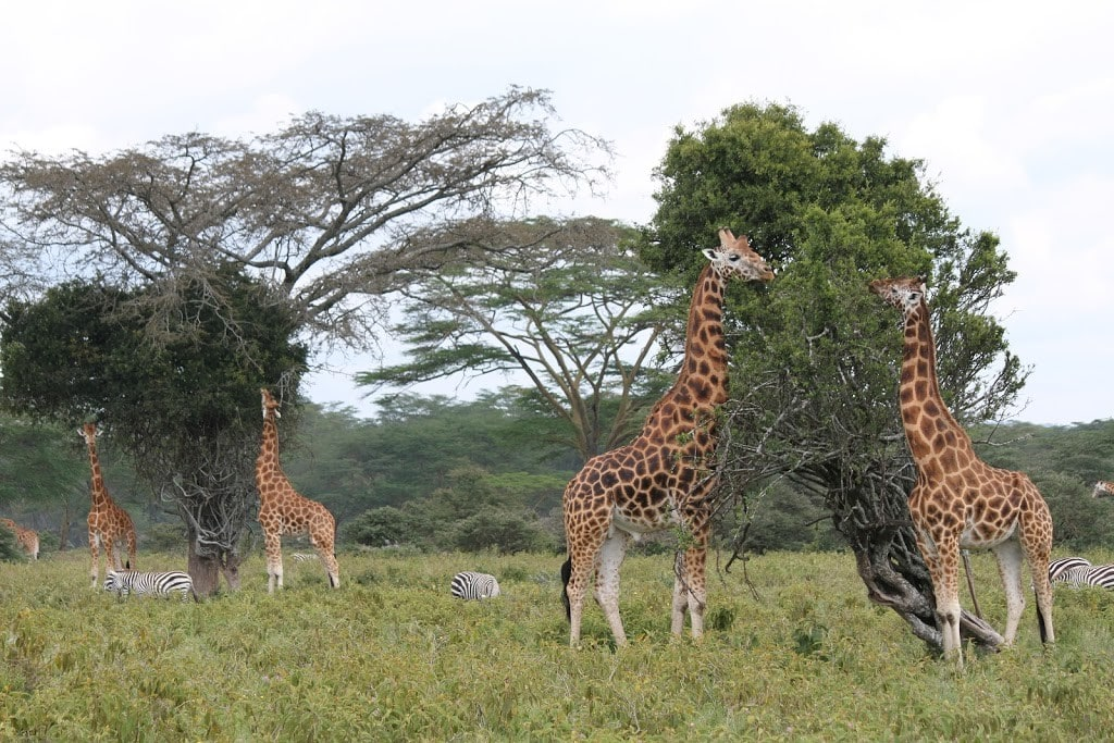 Rothschild Giraffes of Nakuru