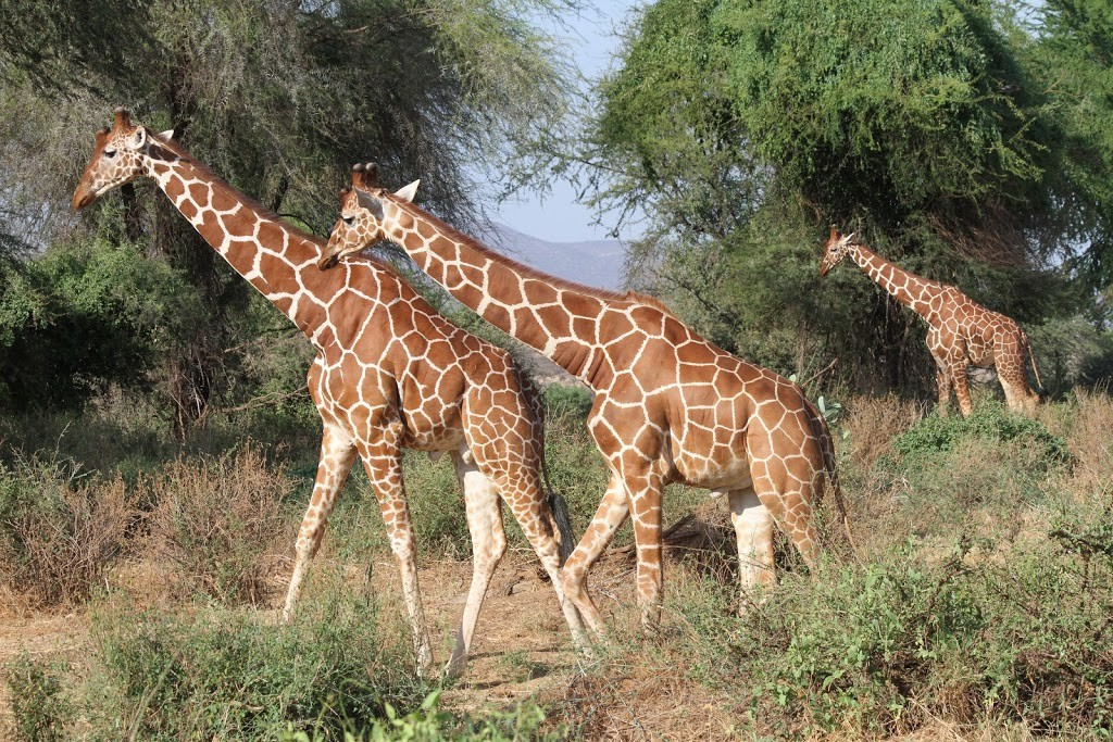 Reticulated giraffes of Samburu