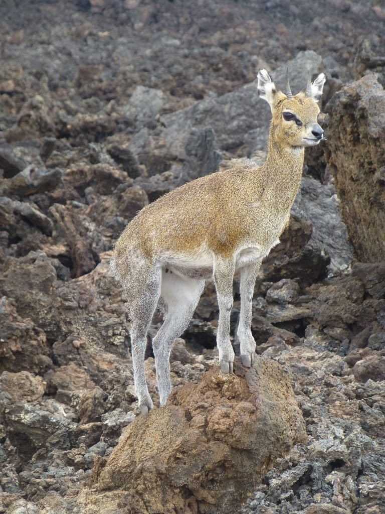 A Klipspringer stands on the lava flow
