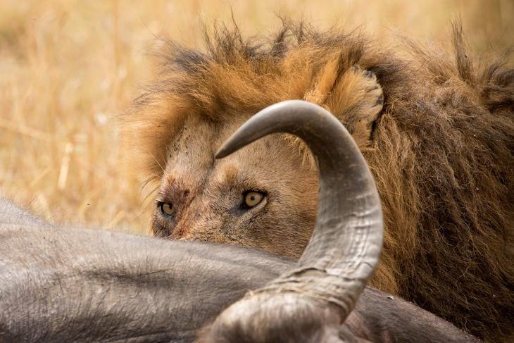 maasai-mara-nairobi-kill-rep-kenya-safaris