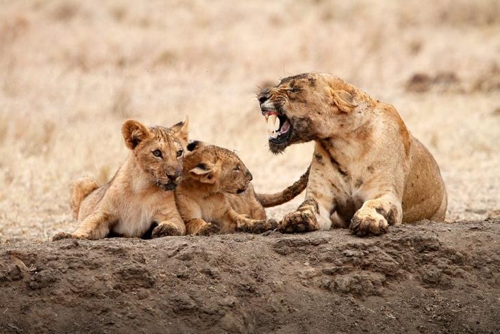 tsavo-east-lions-rep-kenya-safaris